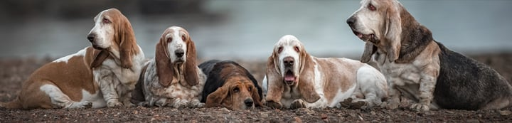Basset Hounds Forum banner