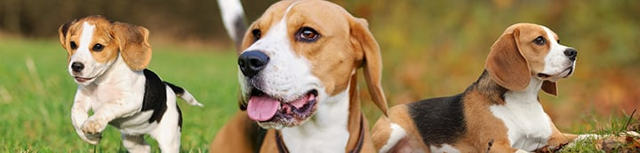 Beagles Unlimited Forums banner