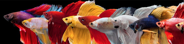Betta Fish Forum banner