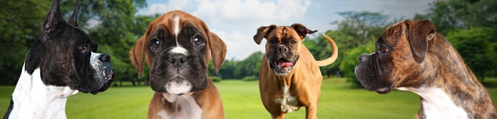 Boxer Breed Dog Forums banner