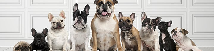 Bulldog Breeds Forums banner