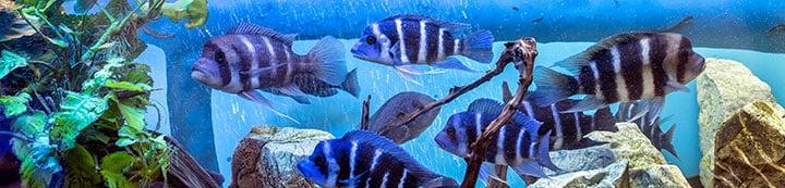 Cichlid Fish Forum banner