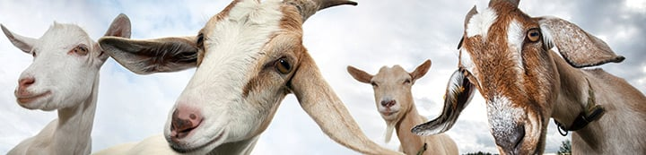 Dairy Goat Info Forums banner