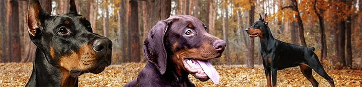 Doberman Forum : Doberman Breed Dog Forums banner