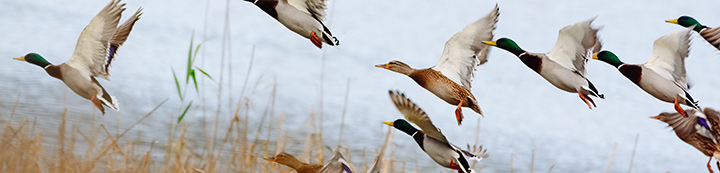 Duck Hunting Forum banner