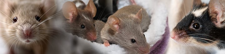 Pet Mice Forum banner