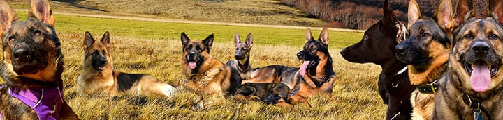 German Shepherds Forum banner