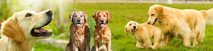 Golden Retriever Dog Forums banner