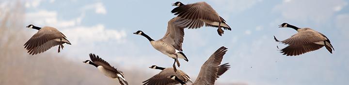 Goose Hunting Forum banner