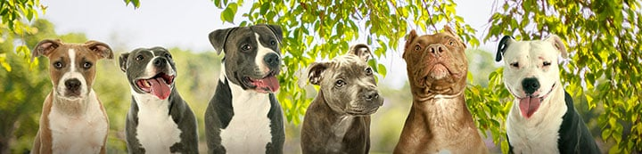 Go Pitbull Forums banner