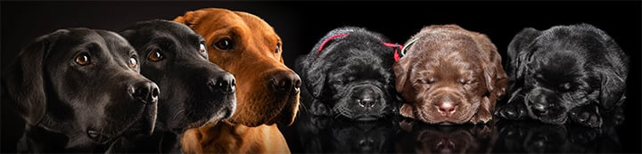Just Labradors banner