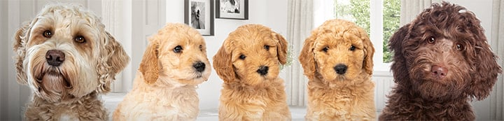 Labradoodle Forums banner