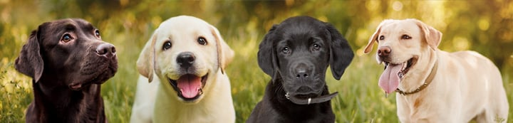 Labradors Forums banner