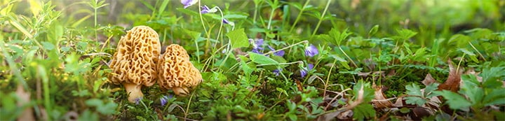 Morel Mushrooms and Mushroom Hunting banner