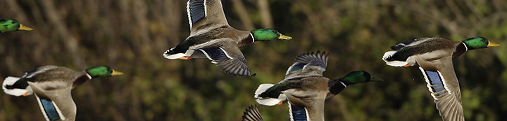 Ohio Waterfowler Forums banner