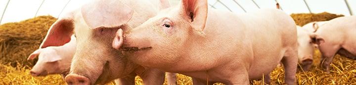 Pig Forums banner