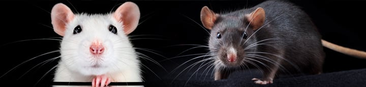 Rat Forum banner