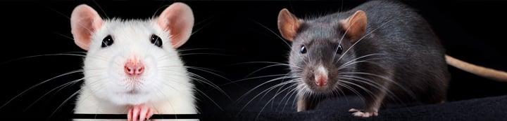Rat Forum banner