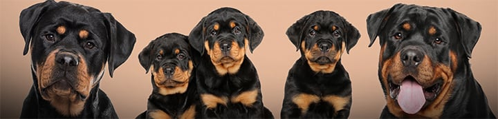 Rottweilers Online Forums banner
