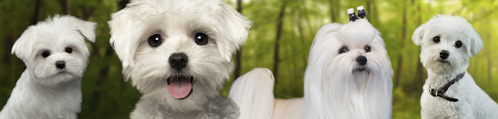 Maltese Dogs Forum : Spoiled Maltese Forums banner