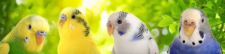 Talk Budgies Forums banner