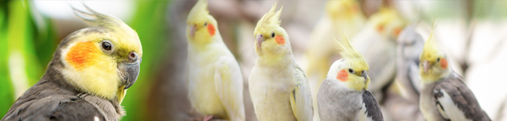 Talk Cockatiels Forum banner