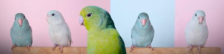 Parrotlets Forum : TalkParrotlets banner